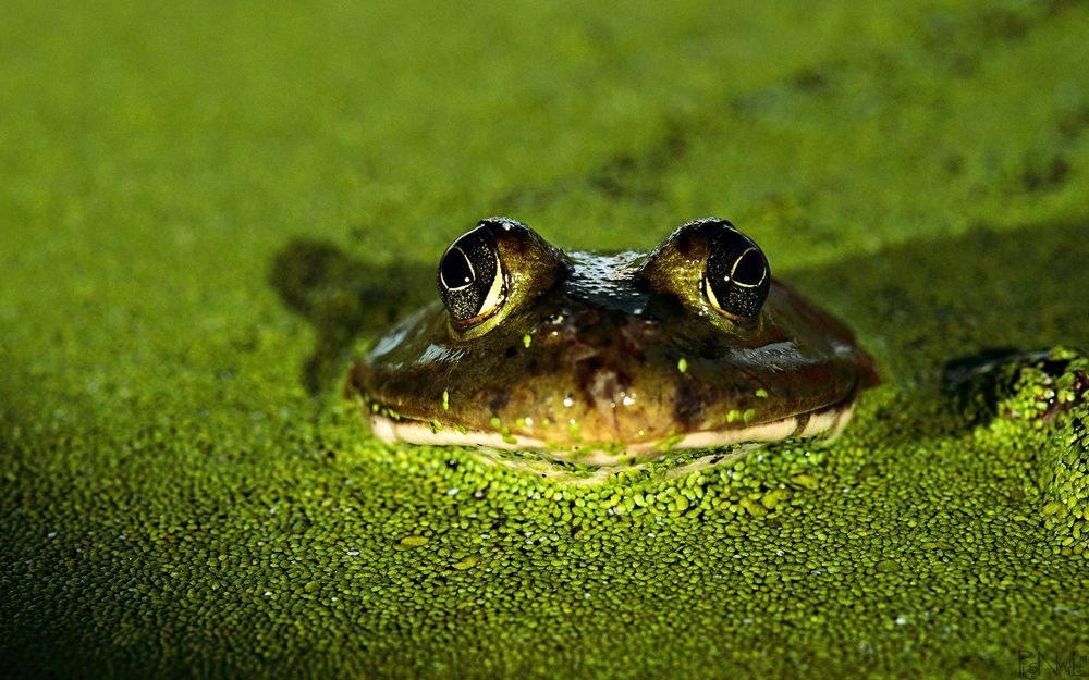 Frog-in-Water by Lalit