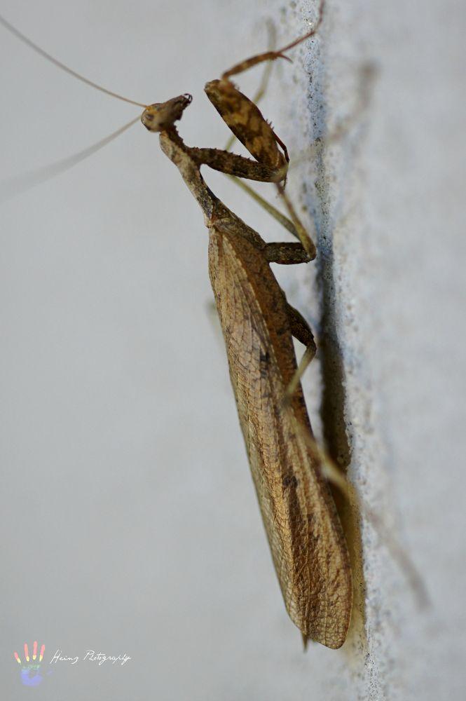 Praying mantis by Heinz Breitenbach