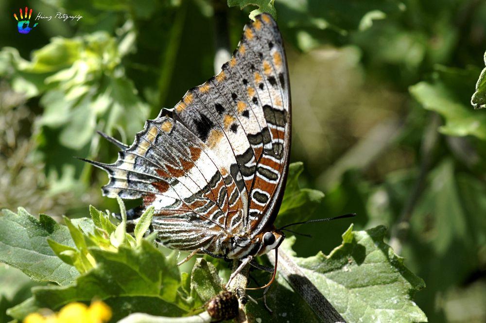 Butterfly by Heinz Breitenbach