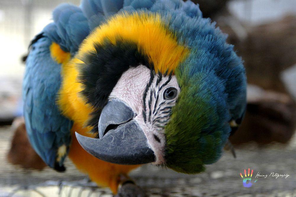 Macaw by Heinz Breitenbach