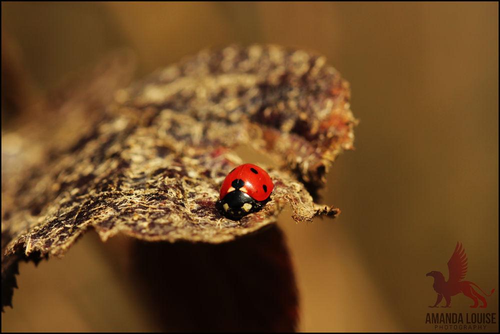 Ladybug by Amanda Louise Steele