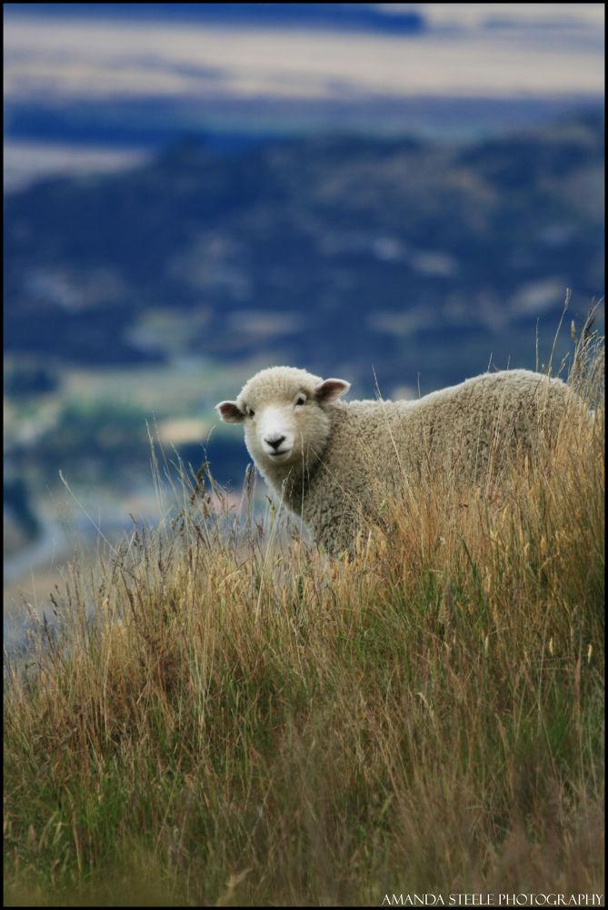 Sheep by Amanda Louise Steele