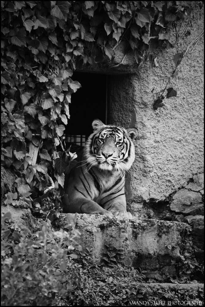 Tiger by Amanda Louise Steele