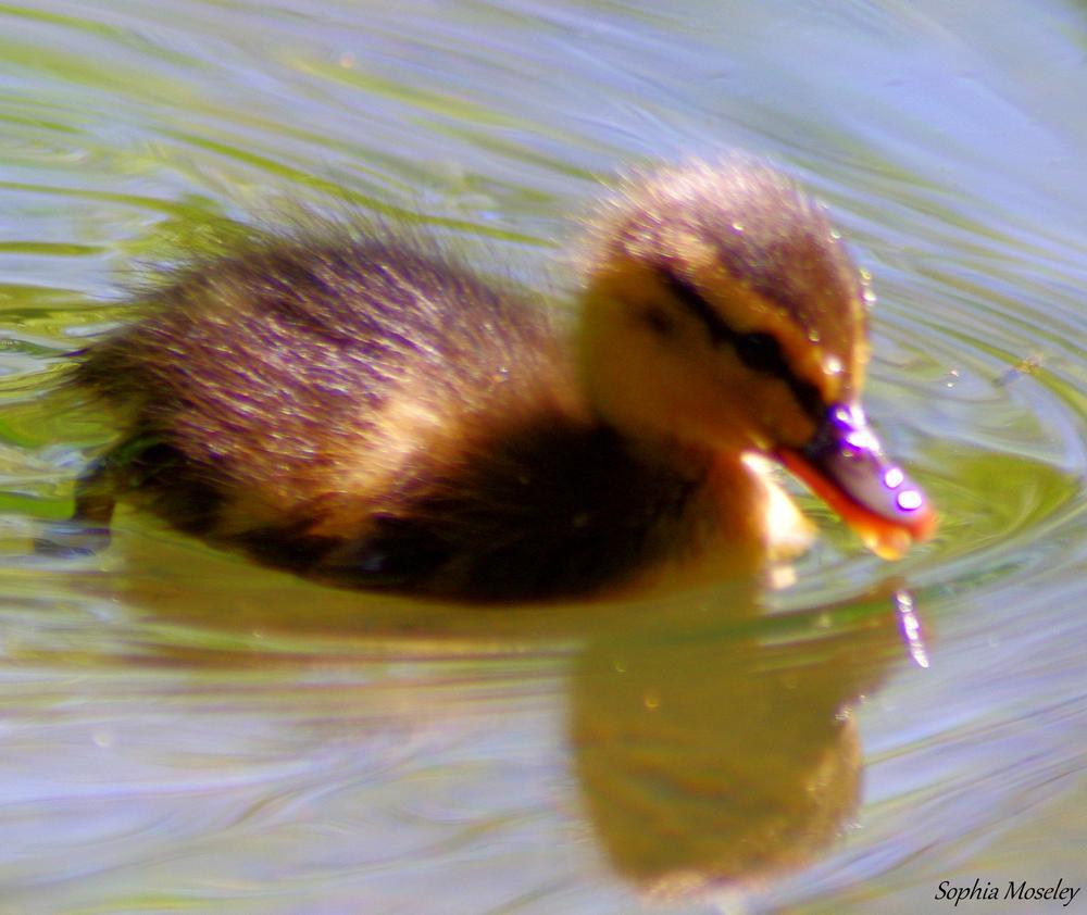 """Duckling""  by Sophia Moseley"