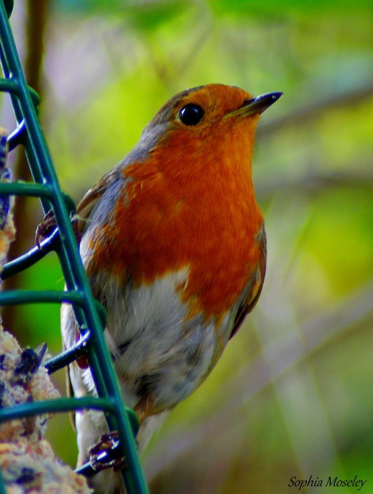 """""""Robin"""" by Sophia Moseley"""