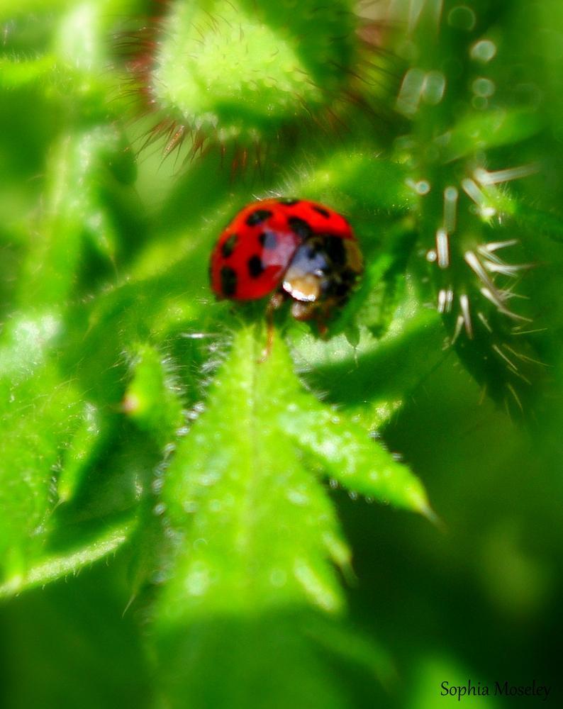 """""""Ladybug 2014"""" by Sophia Moseley"""