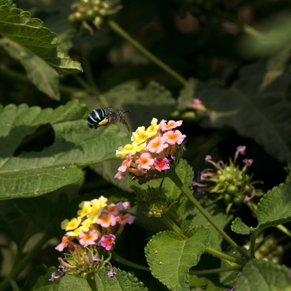 _DSC0713 Blue Banded Bee by Sarbjit Randhawa