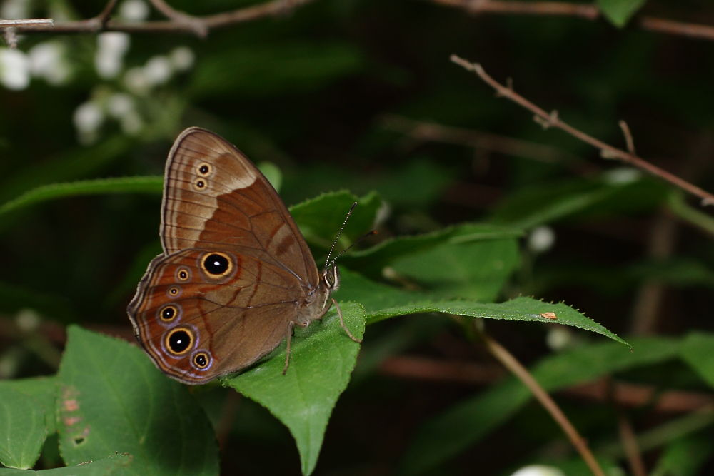Diana Treebrown by Harum