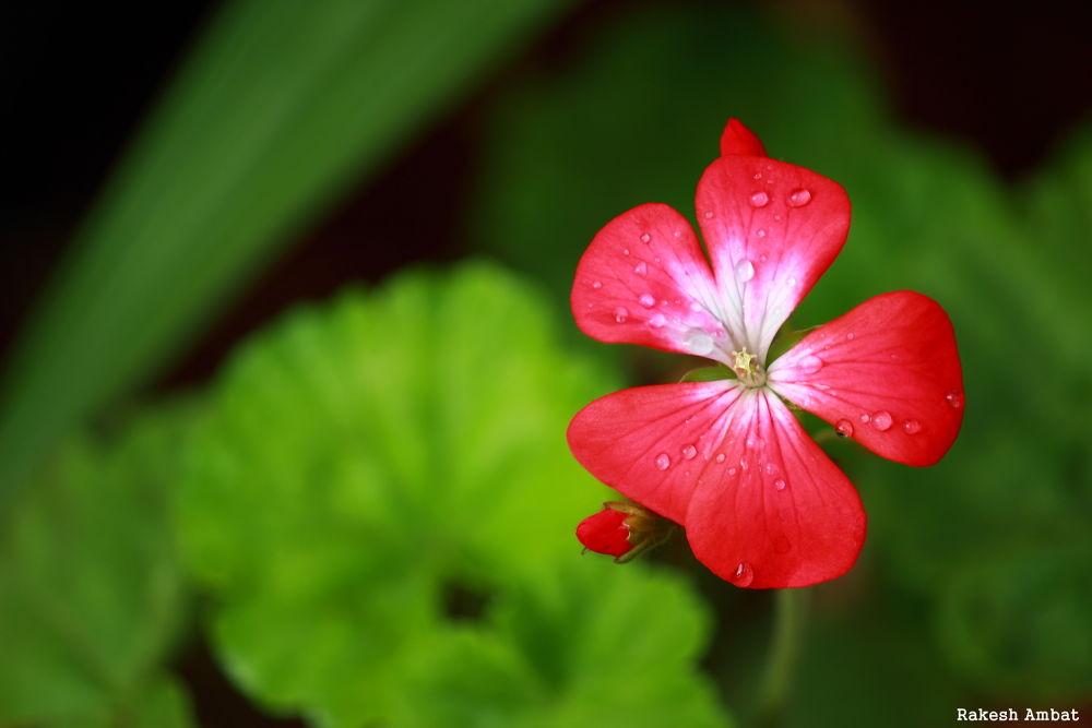 Drops on Flower by Rakesh Ambat