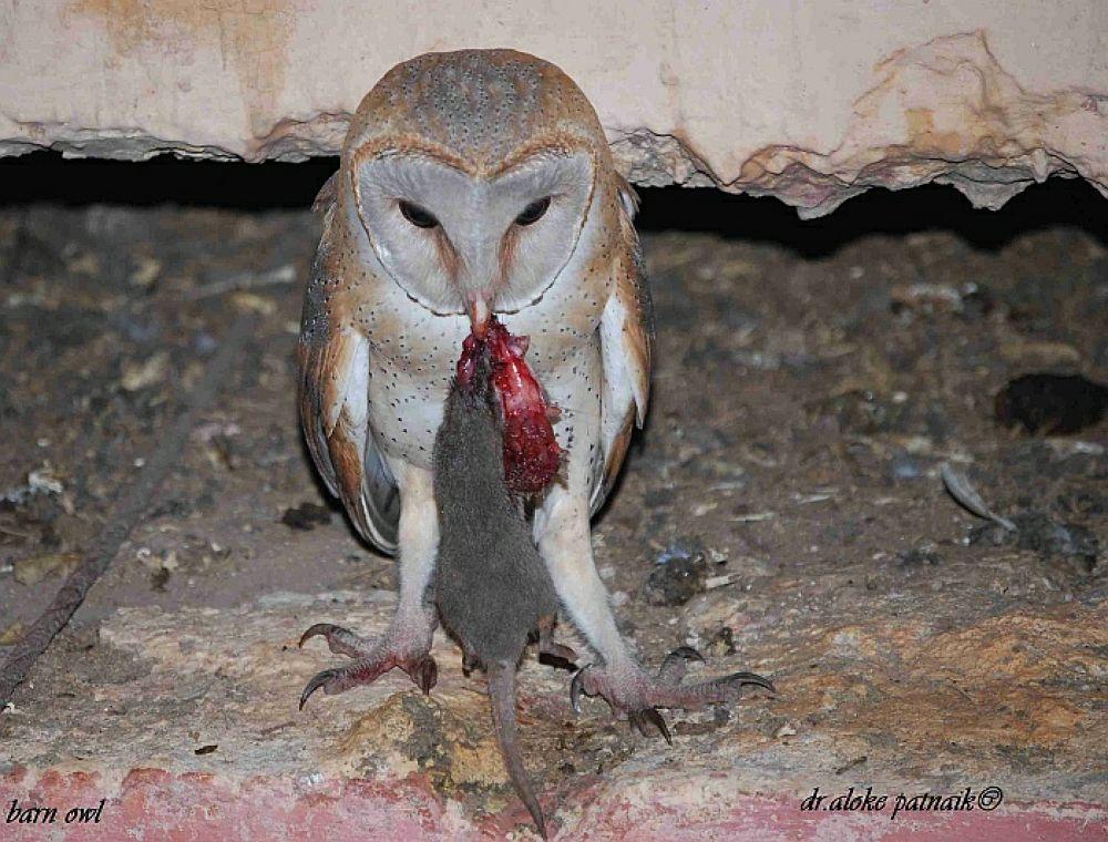 My house owl with kill. by Aloke Patnaik