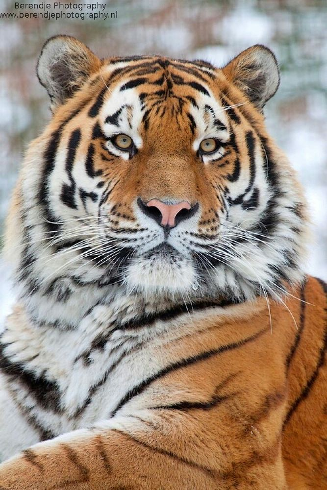 Tiger by Brenda Passchier