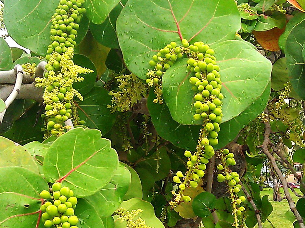 Sea Grapes - www.whatyagotmiami.com by WhatYaGotMiami
