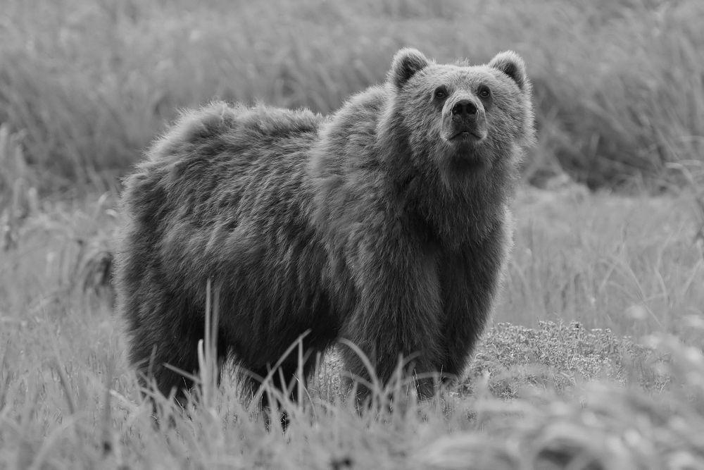 kodiak-bear by JimmyWalter