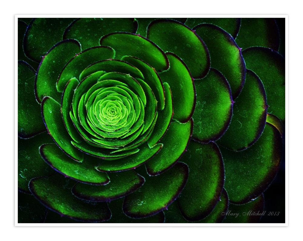 saculent carmel.jpg by Mary Mitchell