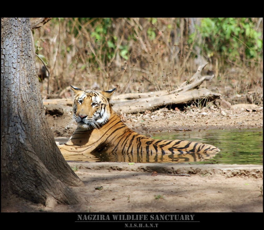 Royal Bengal Tiger by Canoneye