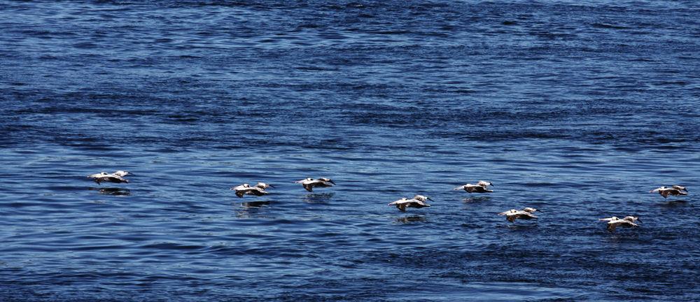Photo in Animal #birds #pelicans #animals #water