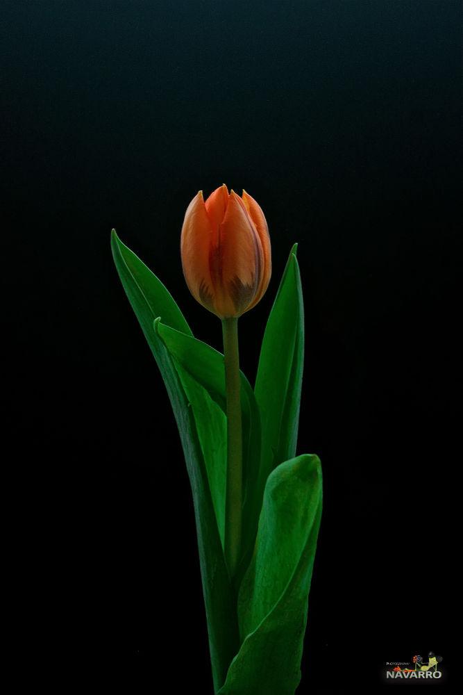Tulipan  by A.Navarro