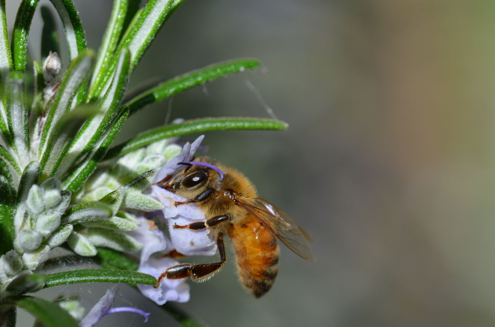 aussie honey bee on rosemary  by aussiemike7