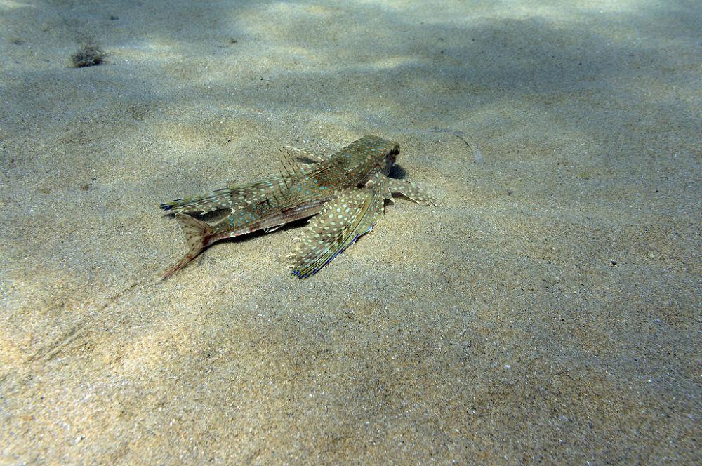 Pesce Civetta by Lord66