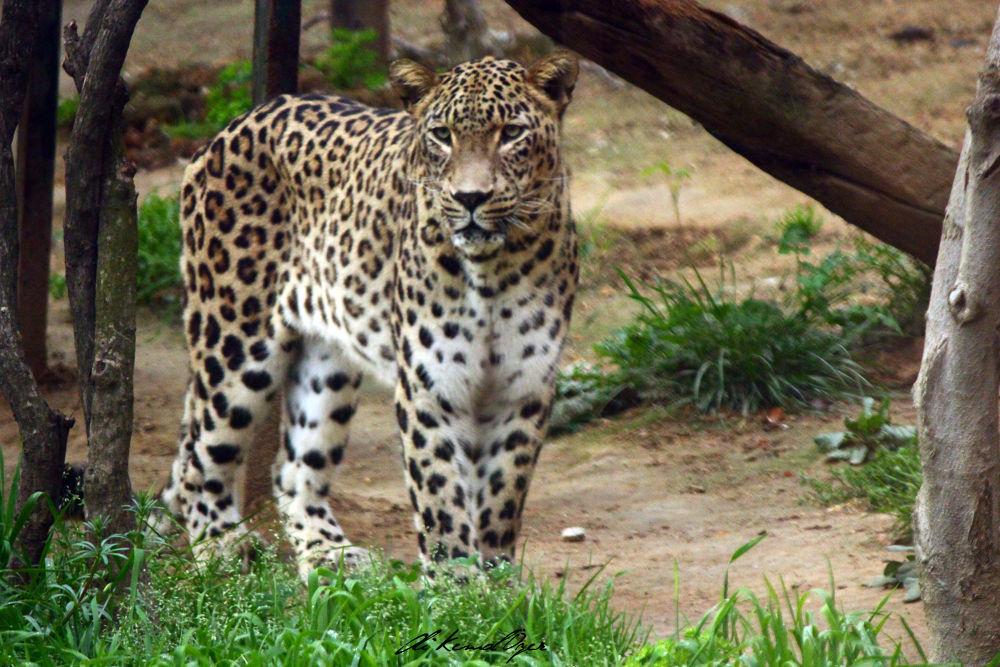 Persian Leopard by Ali Kemal Özer