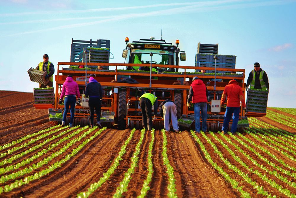 Planting Lettuce  by Jordan Taylor