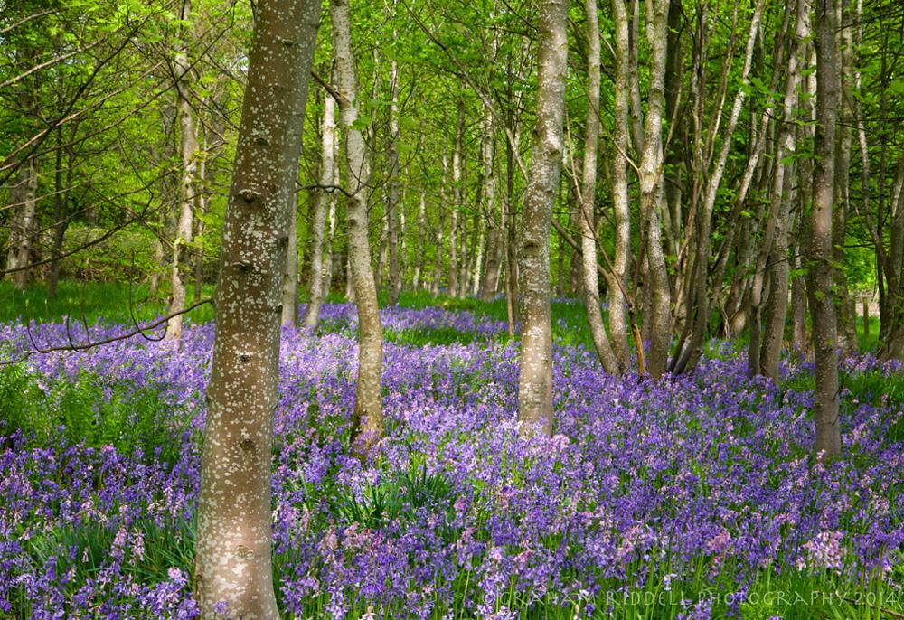 Photo in Nature #woodland #wild #bluebells #belle #beautiful #peace