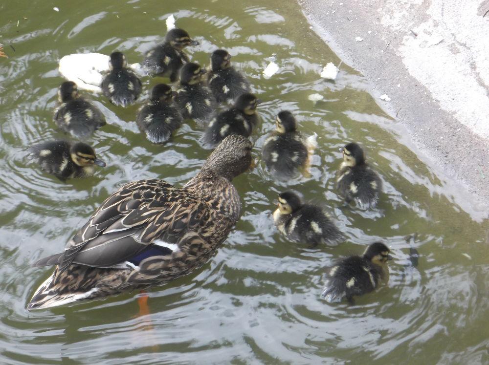 Ducklings by Daniela B. Buda