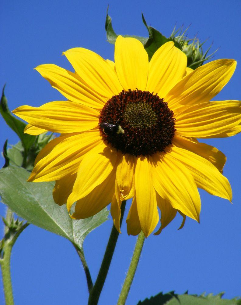 Sunflower by Michelle Farmer
