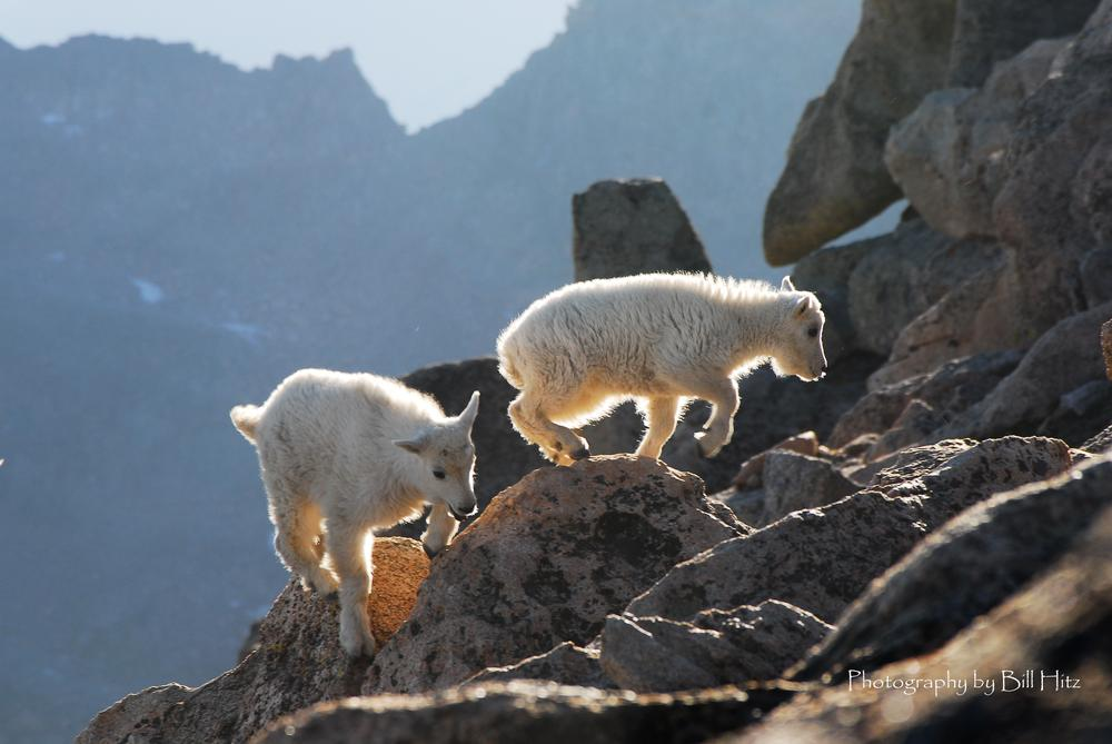 Baby Goats at 14,000 ft by Bill Hitz