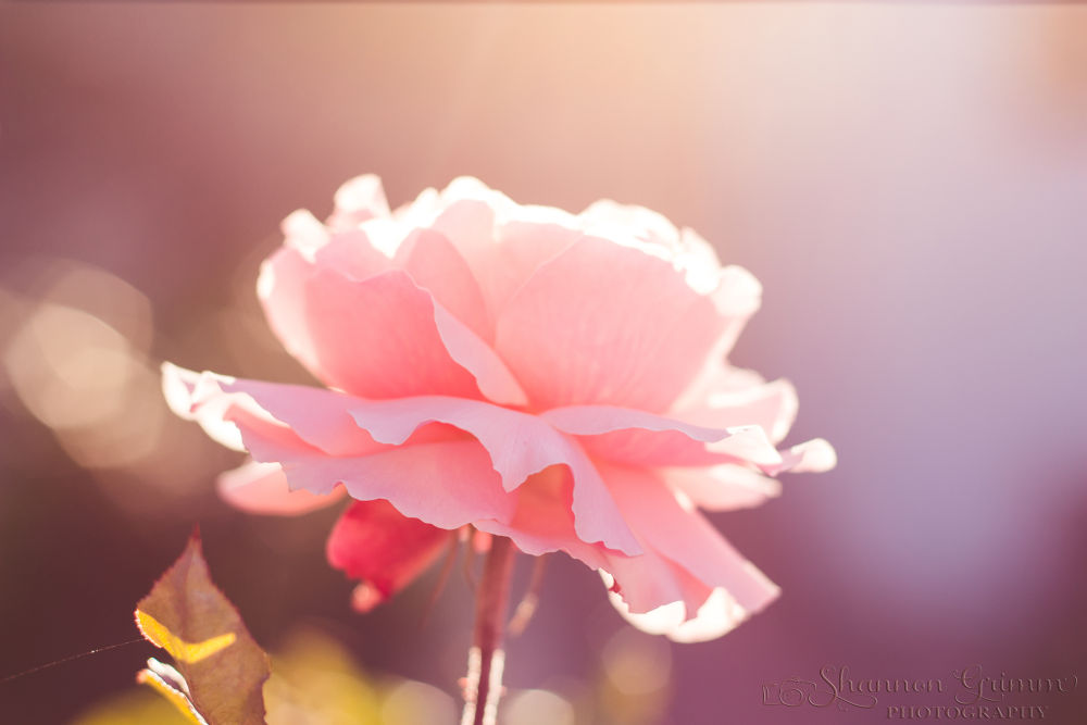 Golden Hour Rose by ShayGrimmPhotog