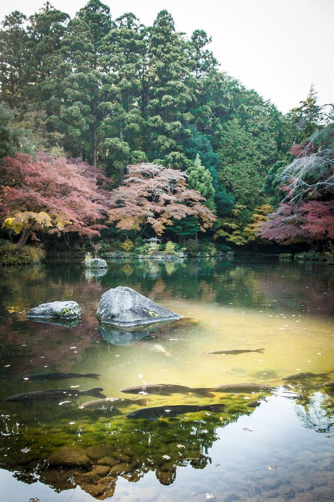 Japanese Fish by Chas Krijnen
