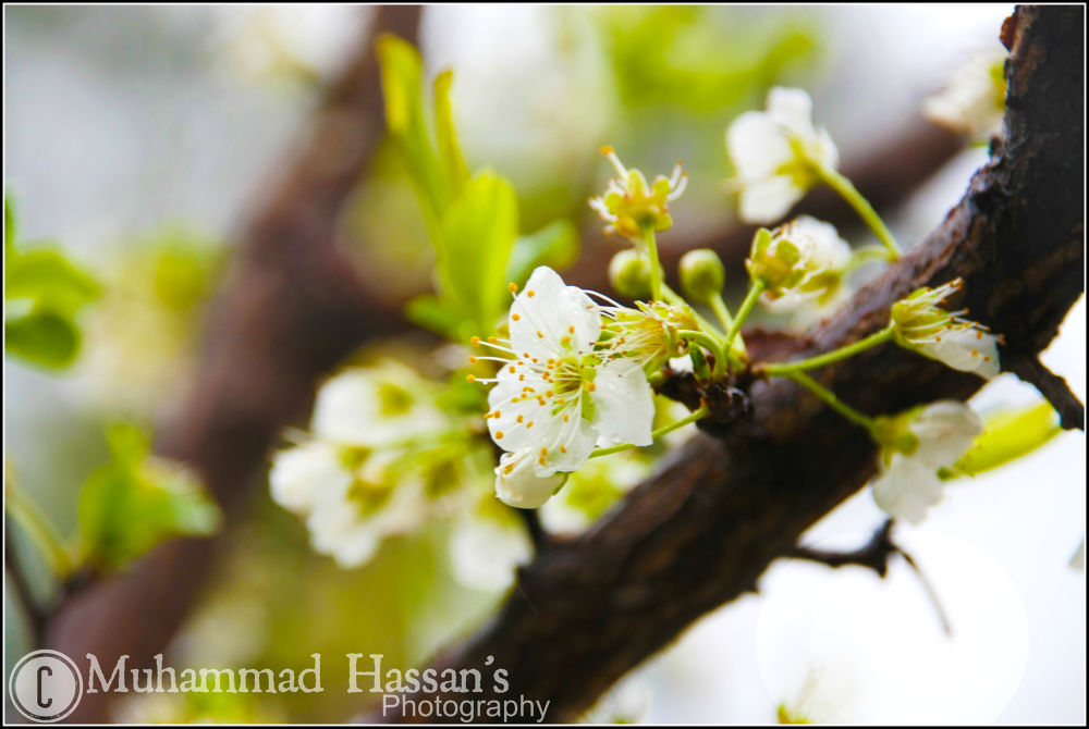 Blossom in Swat, Pakistan by Muhammad Hassan