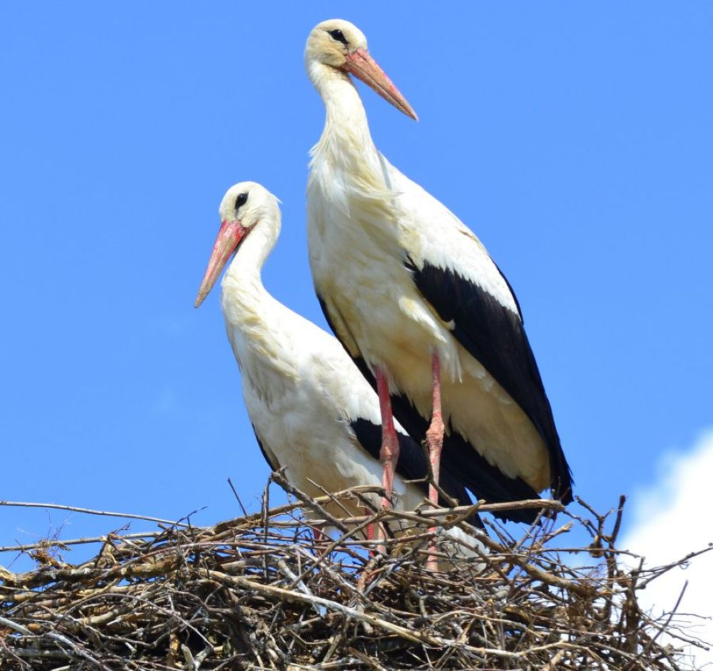 Stork couple by cito