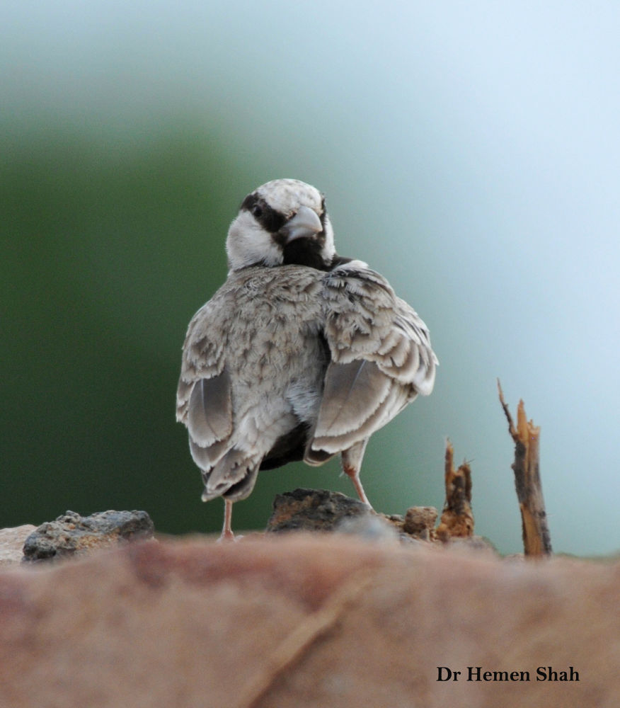 The Ashy-crowned Sparrow-Lark (Eremopterix griseus) also known as the Ashy-crowned Finch-lark or Bla by Hemen