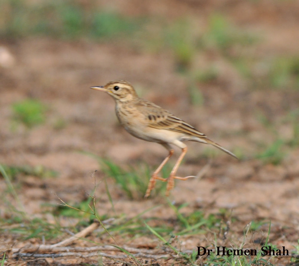 PADDY FIELD PIPIT, About to take off. by Hemen