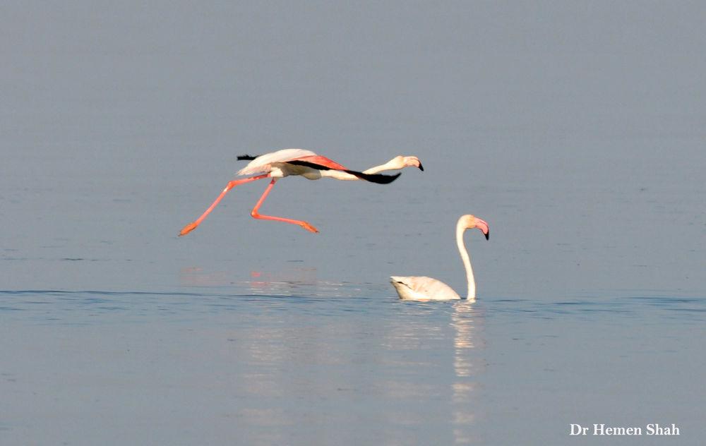 Greater Flamingos by Hemen