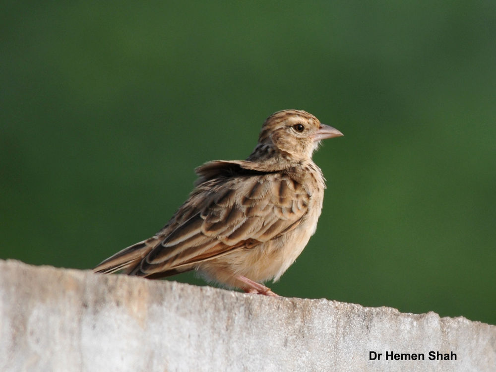 Indian Bush Lark by Hemen
