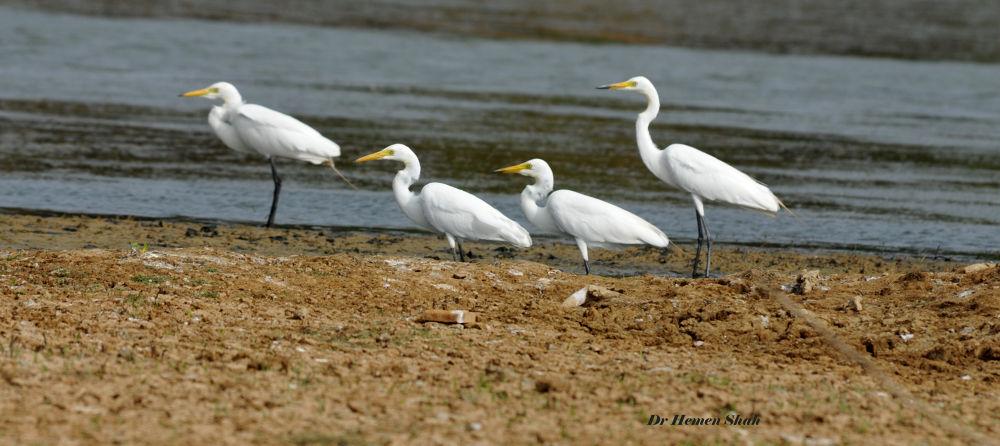 Egrets. by Hemen
