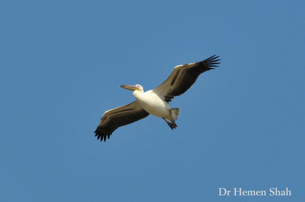 Great White Pelican. by Hemen