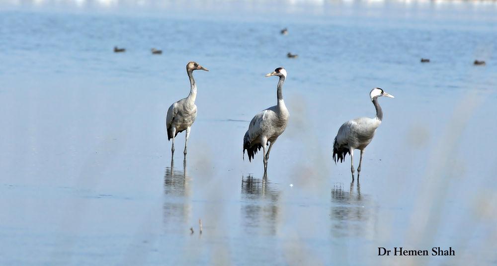 Common Cranes by Hemen
