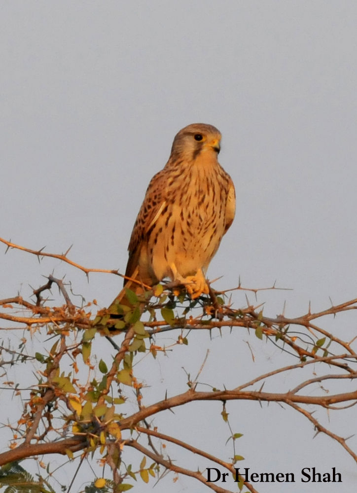 Common Kestrel by Hemen