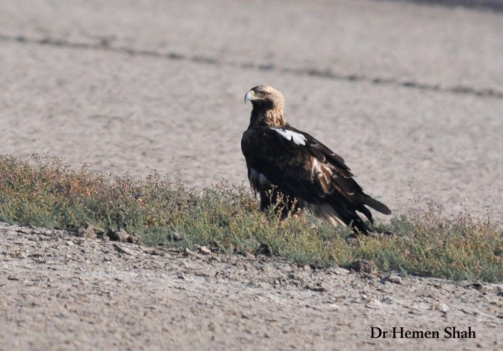 Eastern Imperial Eagle. by Hemen