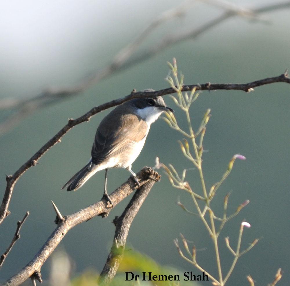 The Lesser Whitethroat (Sylvia curruca) by Hemen