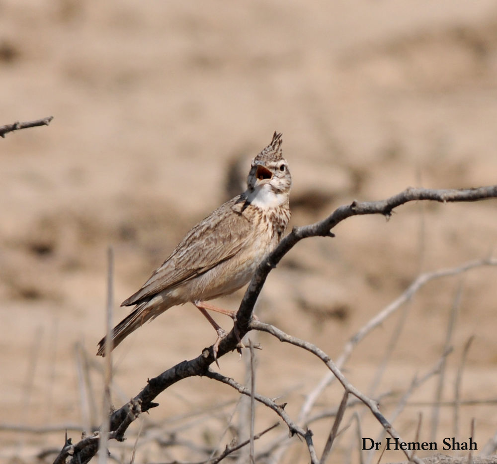 CRESTED LARK by Hemen
