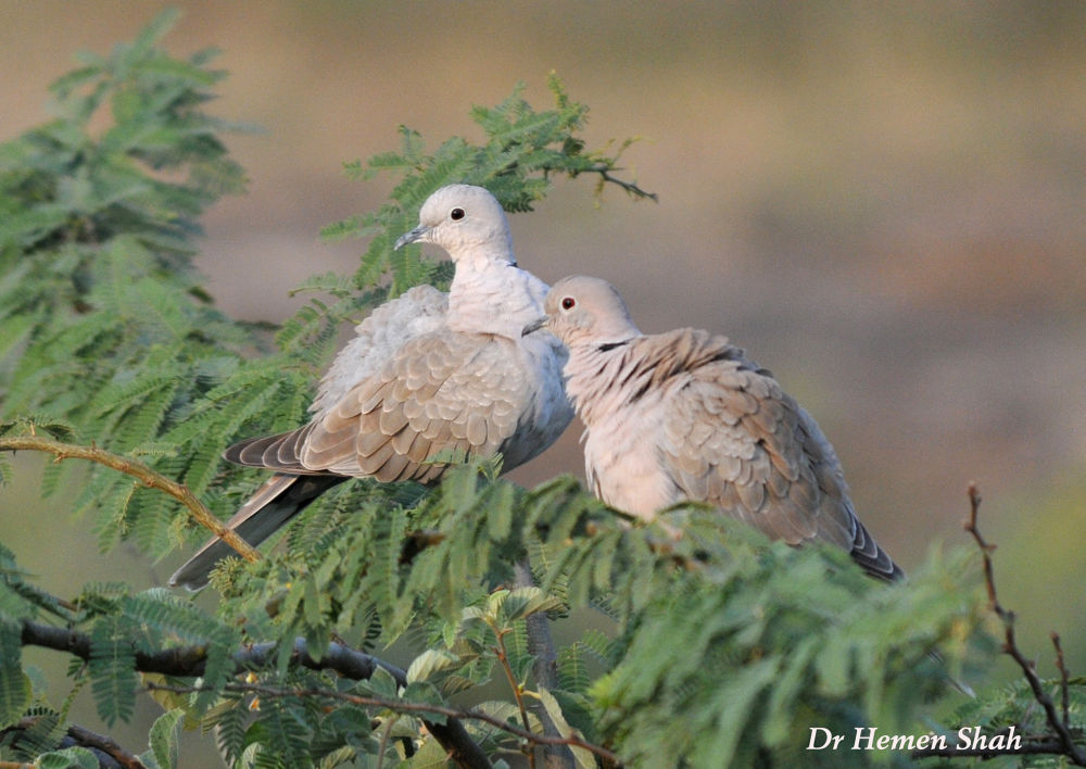 BEAUTIFUL COUPLE (EURASIAN COLLARED DOVES) by Hemen