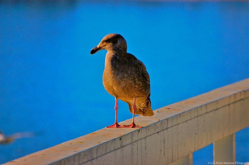 blue gull by stonerz68