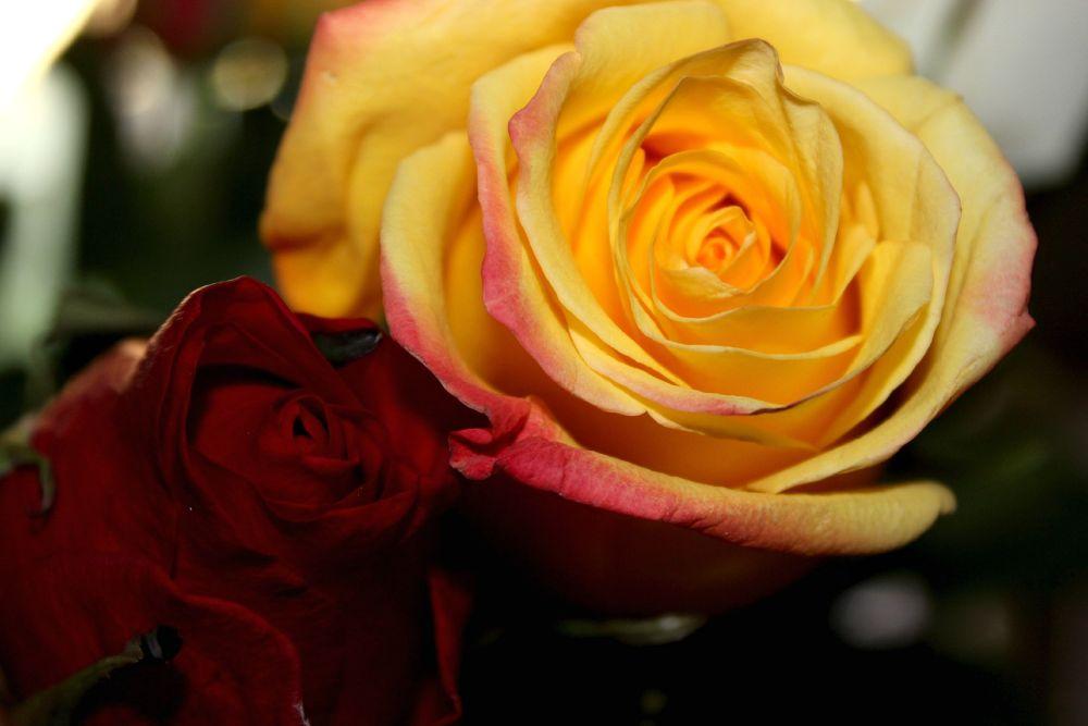 yellow rose by Marirodriguez3004