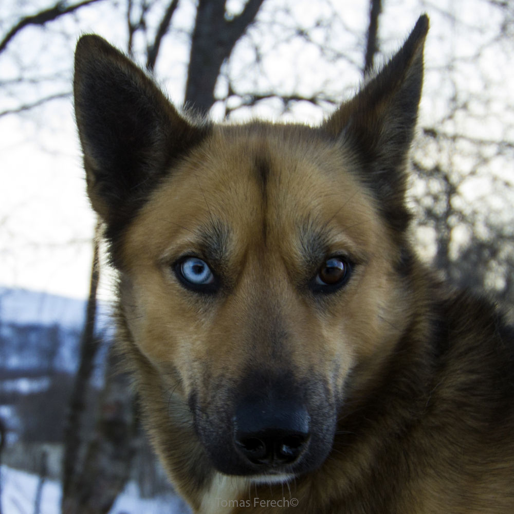 Dog with two different colored eyes No. 2 by Tomas Ferech