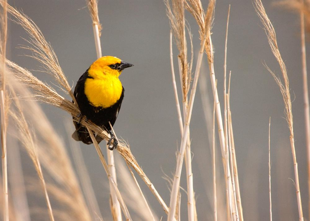 Yellow headed blackbird by Pat Bell