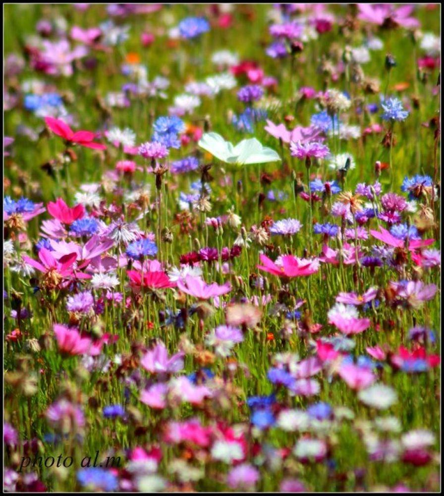 fleures de campagne by annlaure